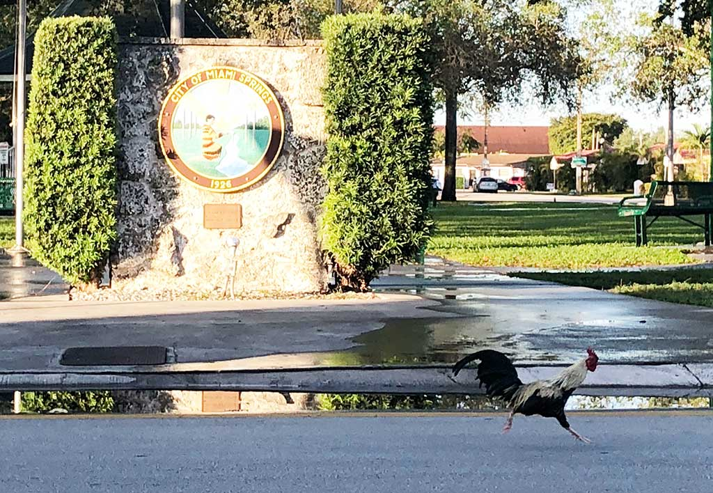 Chicken Running Around Miami Springs Circle