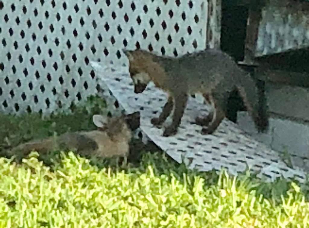 Fox pups in Miami Springs
