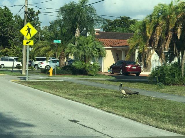 Peacocks in Miami Springs