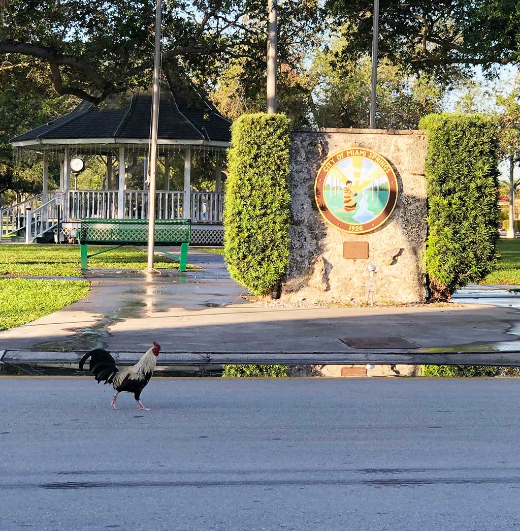 Miami Springs Rooster