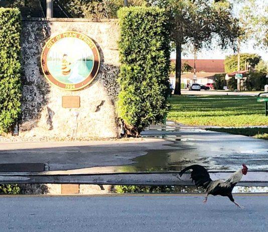 Chicken Running Around Miami Springs Circle