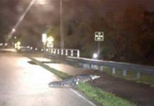 Alligator Crossing Ludlam
