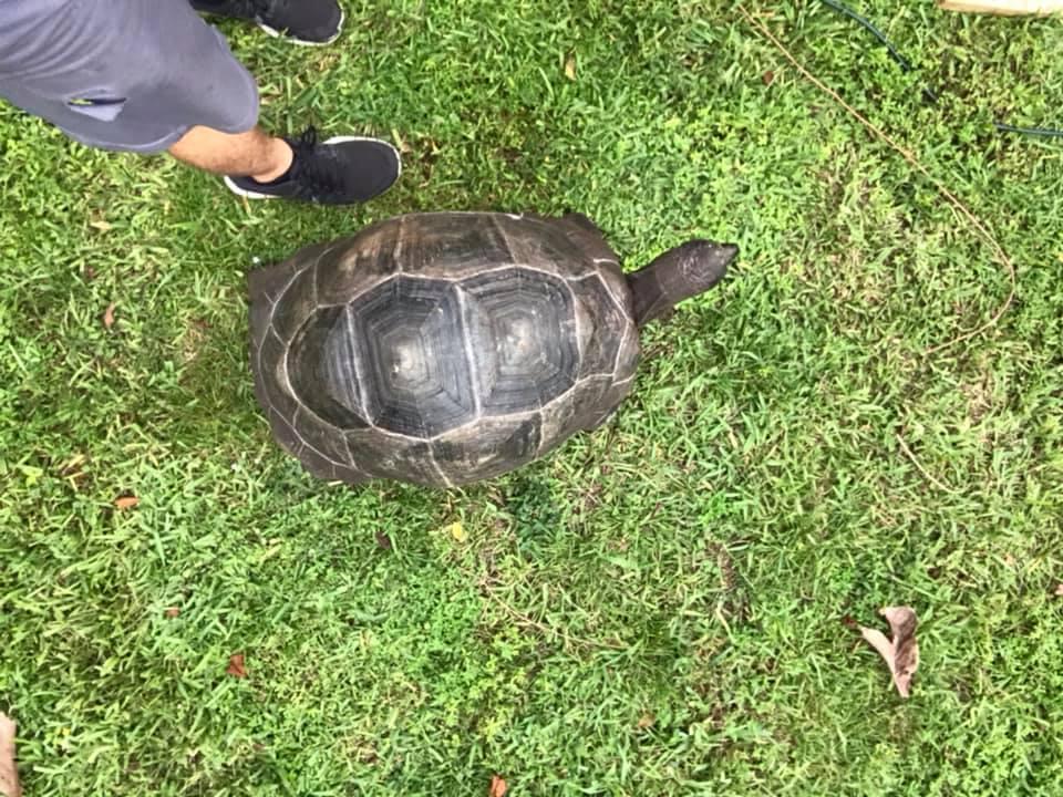 Miami Springs Tortoise