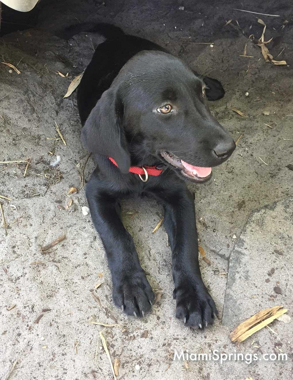 Black Lab Puppy Dog in Miami Springs